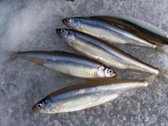 Ryba-korjushka-4