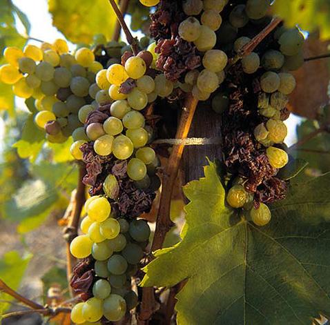 Токаяский виноград