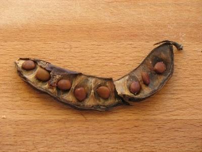 Ceratonia siliqua seeds