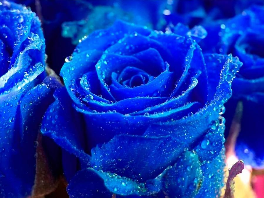 голубые розы и капельки росы