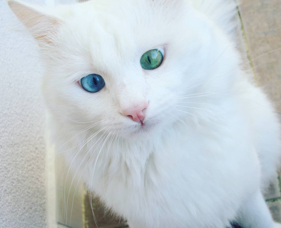 https://mur.tv/алош-белый-кот-с-самым-гипнотическим-в/