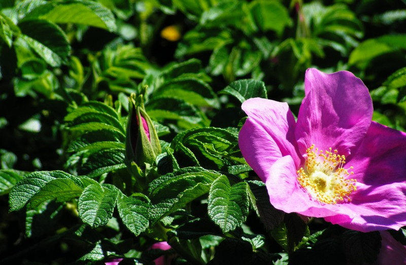 Rósa rugósa —    Морщинистый шиповник — пляжная роза   фото автора:  ida_mikhaylova