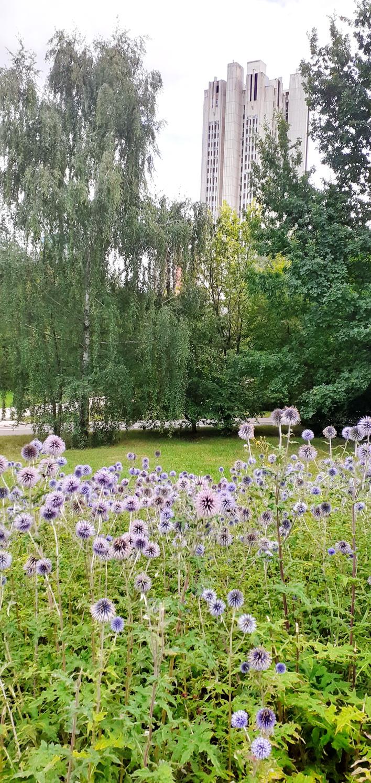 Echinops  Asteraceae