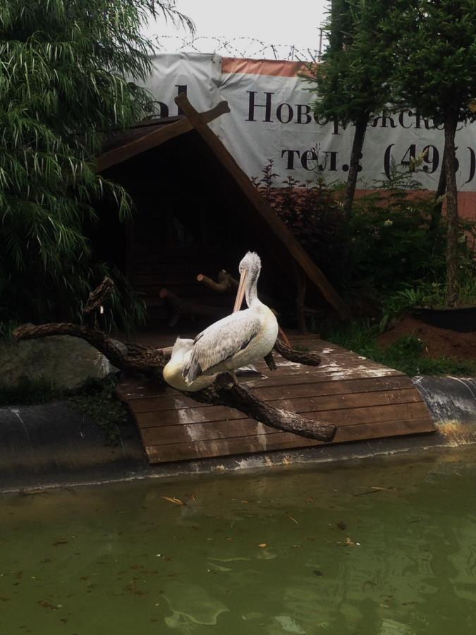 пеликаны 2.jpg