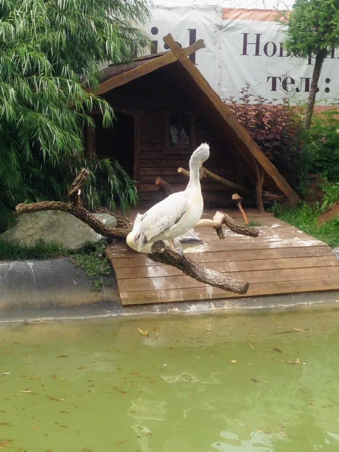 пеликаны 2Ю.jpg