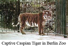 Caspian_tiger-Captive-Caspian-tiger-at-Berlin-Zoo-circa-1899-color-enhanced-1