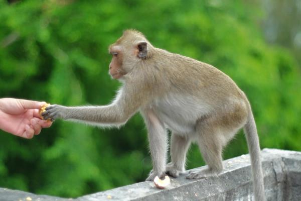 feeding-monkeys