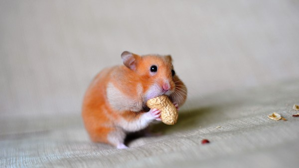 close-up-of-a-hamster-eating-groundnut-635096689-5c525f88c9e77c0001d7c1fa