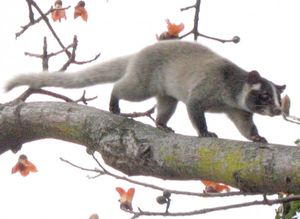 Palm_civet_on_tree_(detail)