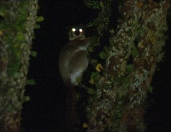 night-lemur-1