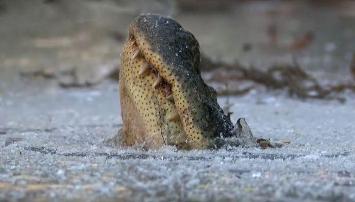 аллигатор вмёрз в лёд