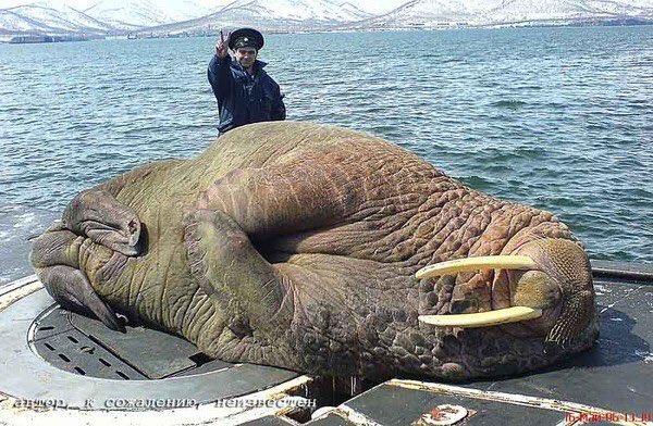 морж на подлодке