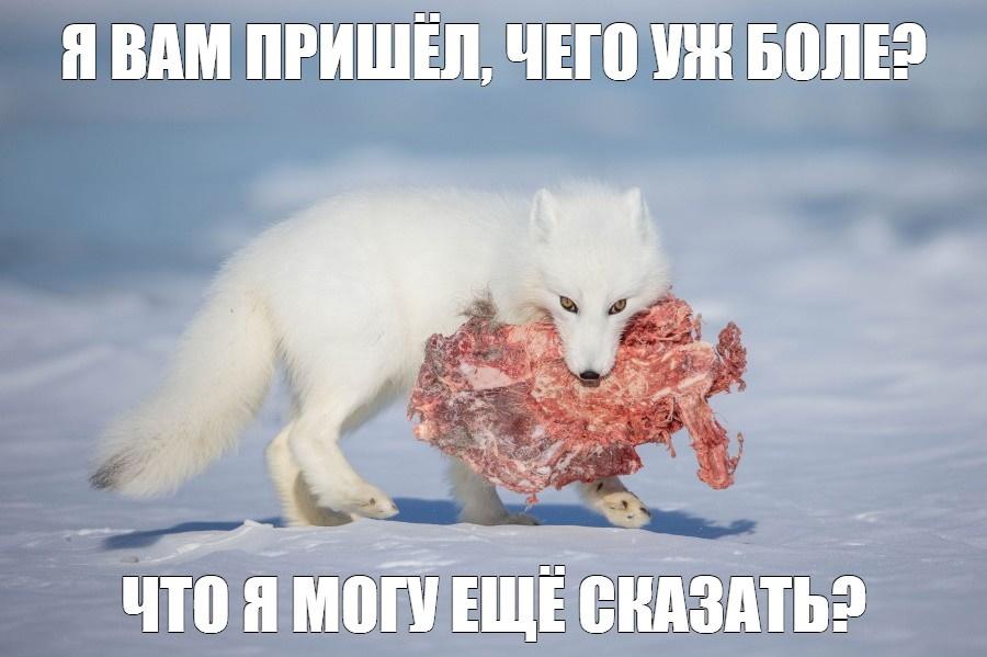 песец_1