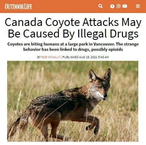 койоты-наркоманы