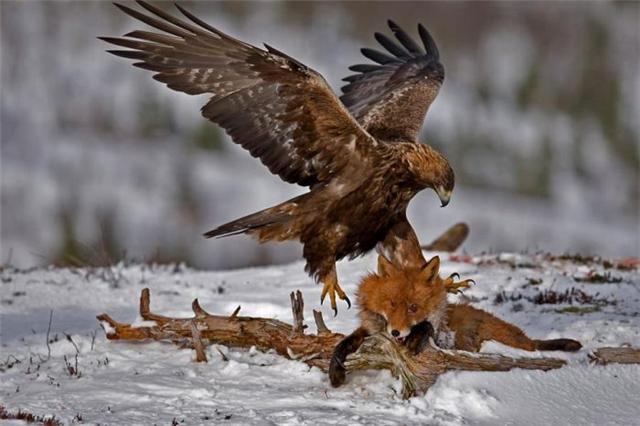 орёл и лисица