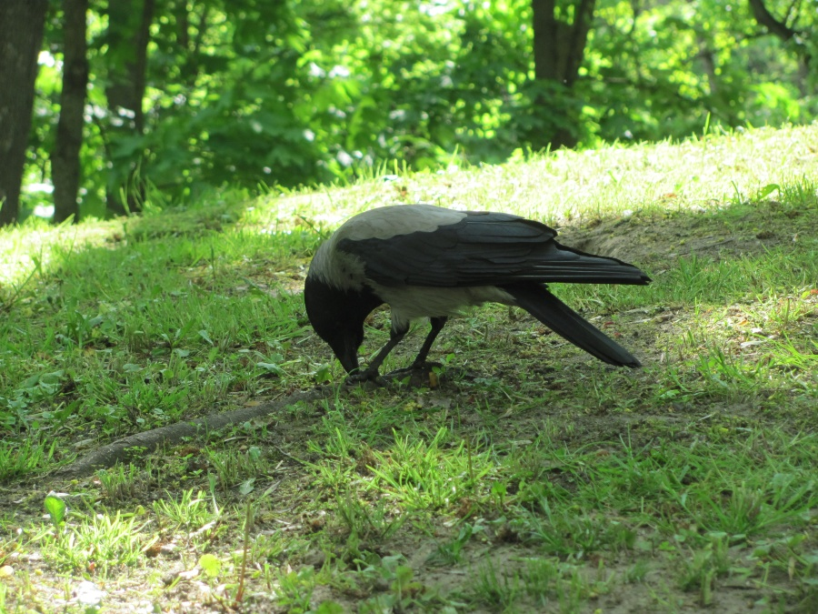 прекрасная ворона