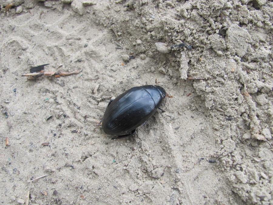 немайский жук
