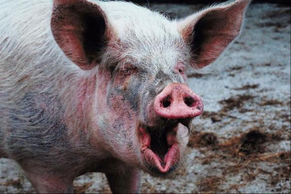 34805877-Pig