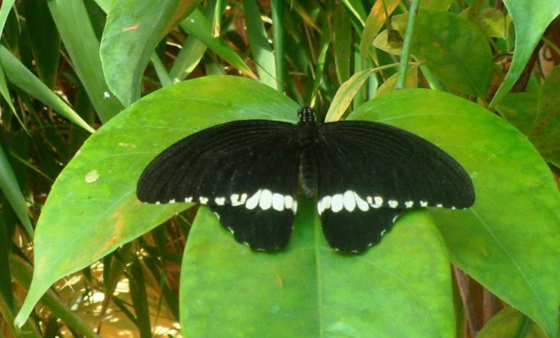 Бабочка Парусник.