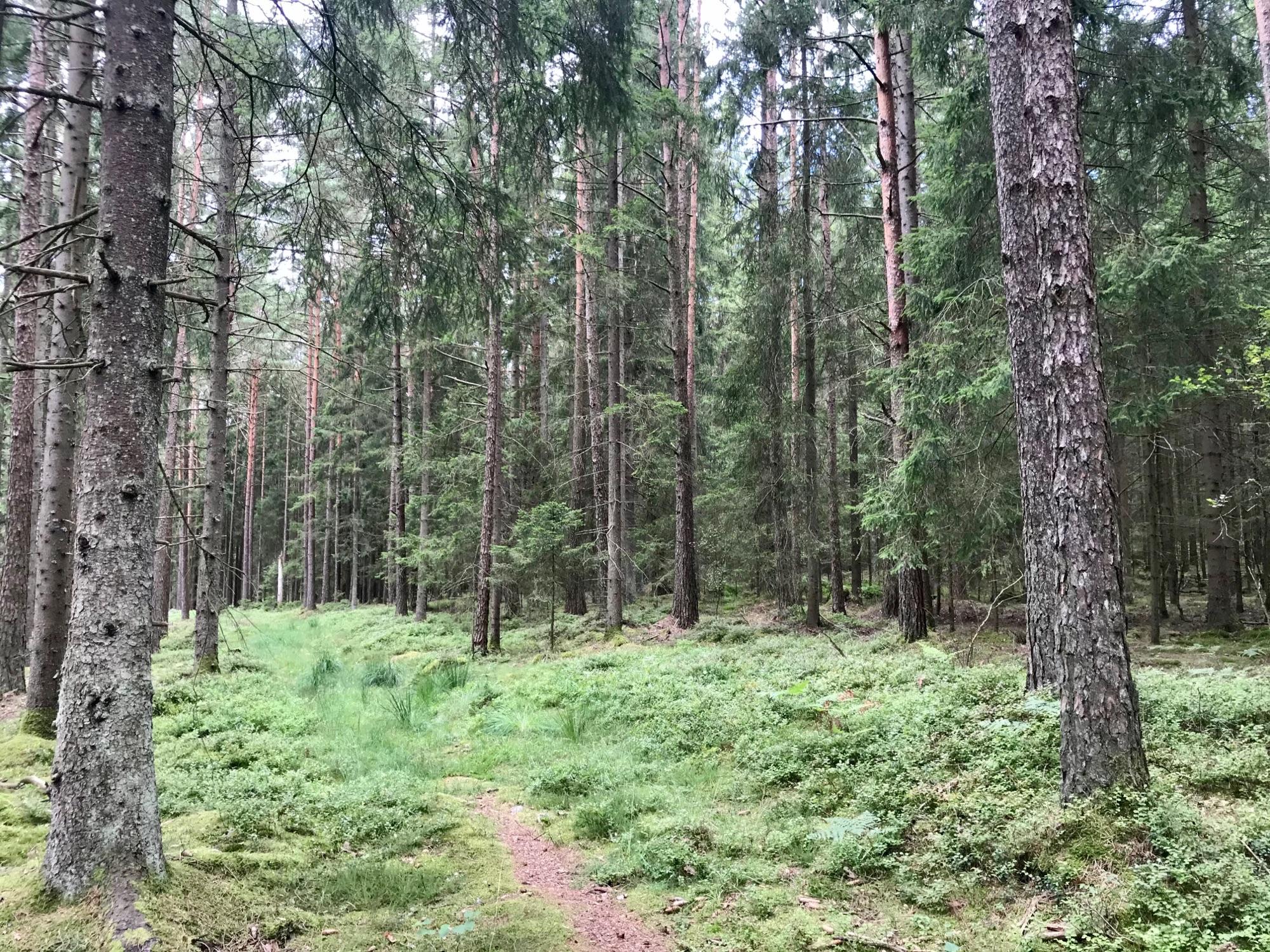 Лес дремучий