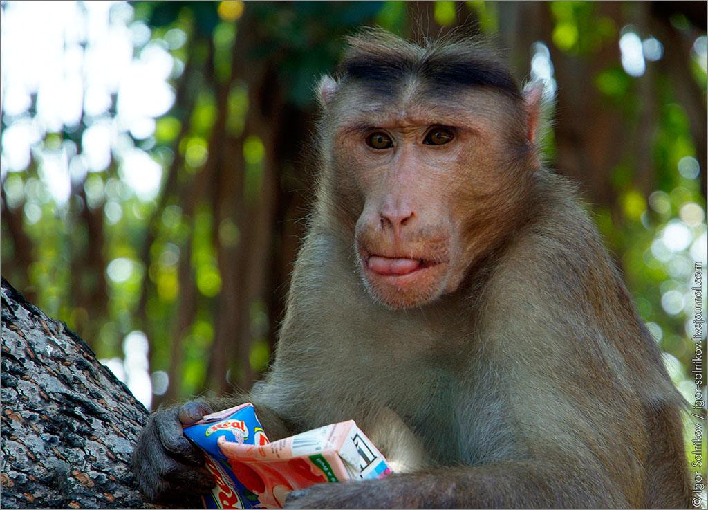 Индия новый год обезьяны китайский новый год