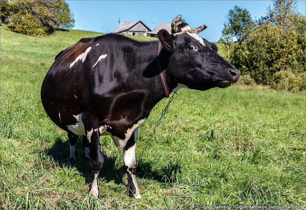 Литва корова
