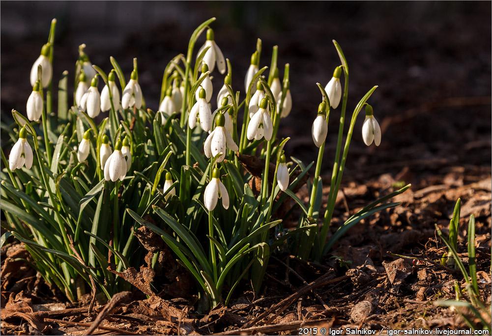 подснежники цветы Львов весна