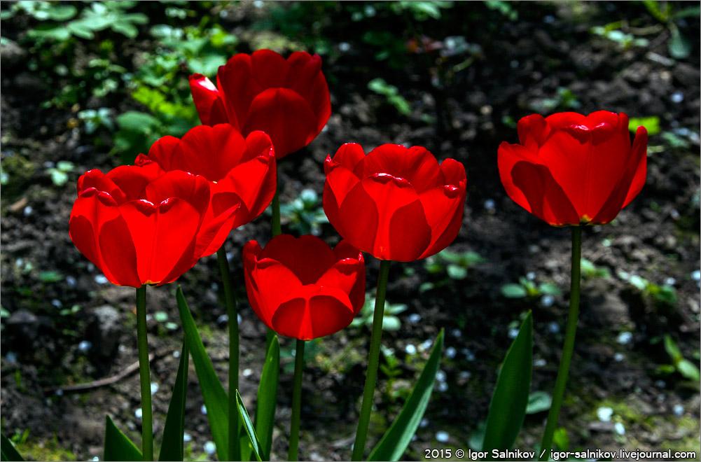 цветы тюльпаны весна красный