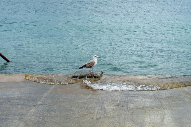 Чайка, молодая птица