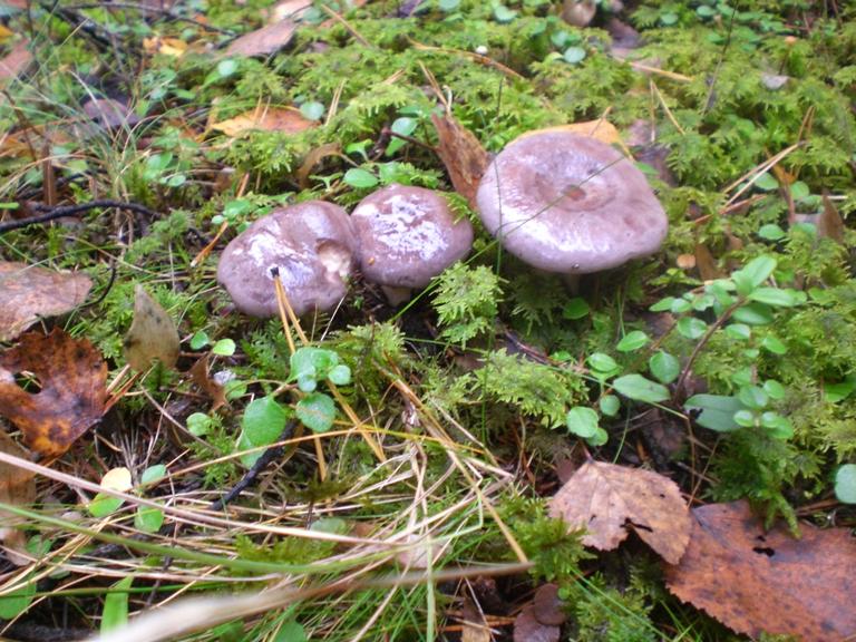 путик грибы фото