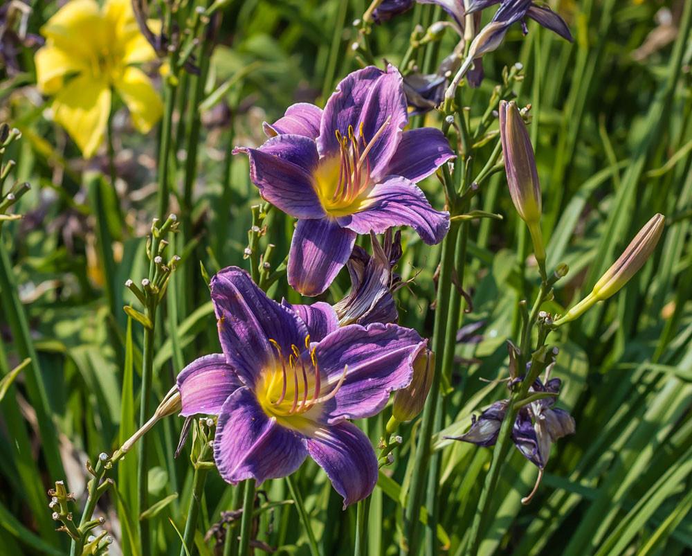 18.Prairie-Blue-Eyes.jpg