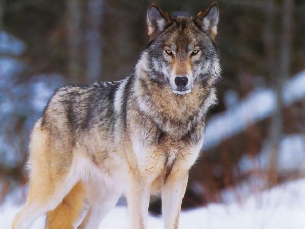 20 волк