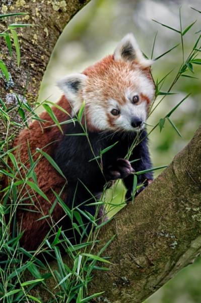 красная панда 1