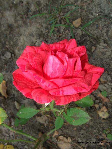 тигровая роза 1
