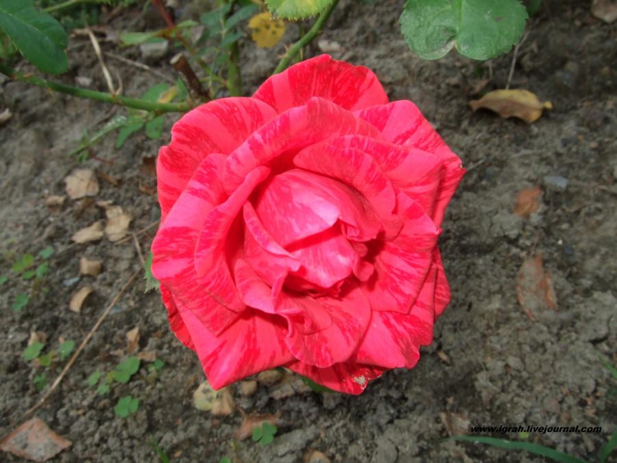 тигровая роза 2