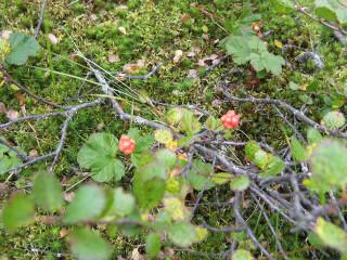 Морошка - Царская ягода