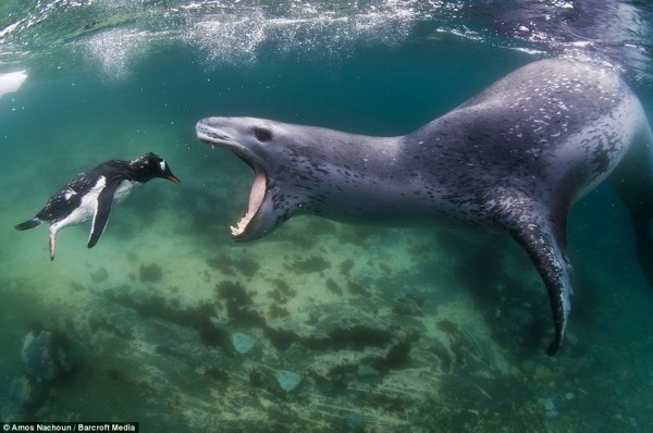 morskoy-leopard-2