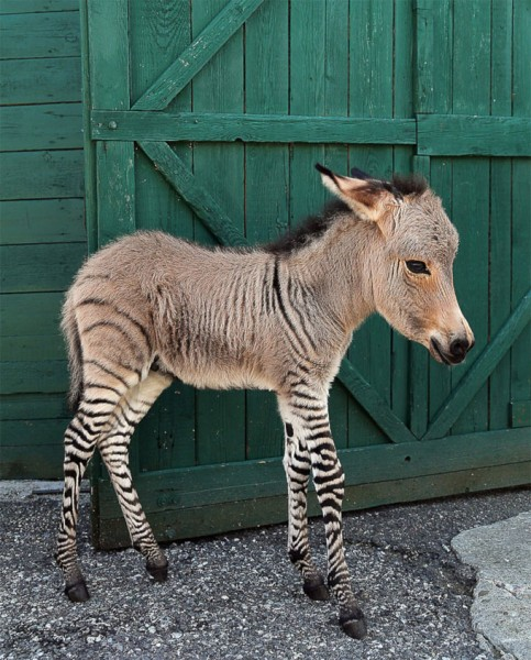 oslik-zebra (1)