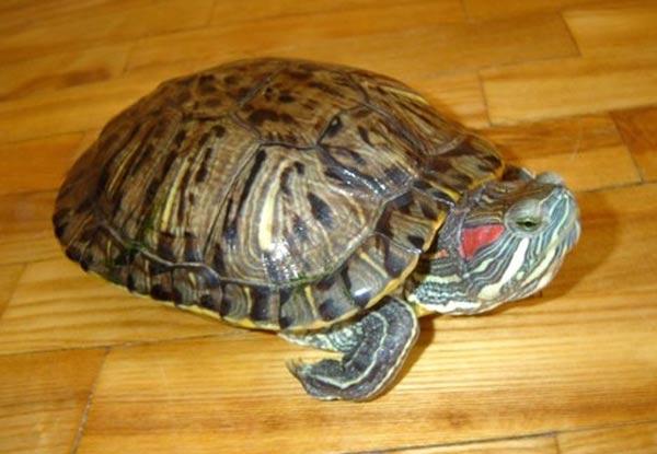 Декоративная черепаха в домашних условиях-Dveri-Ceny.ru