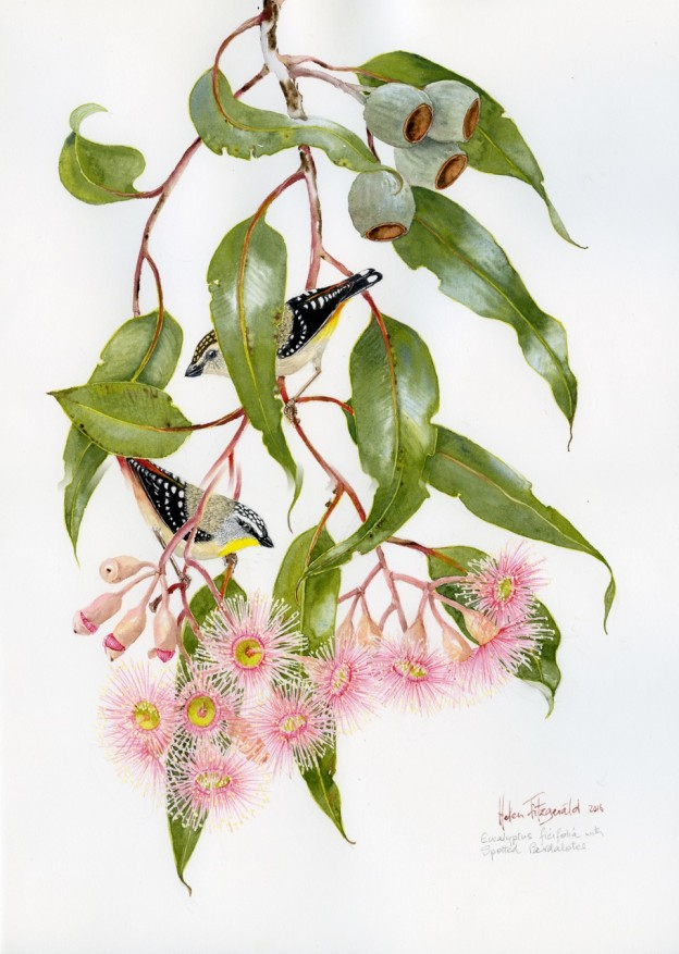 Helen-Fitzgerald-E-ficifolia-spotted-pardalote-1437-624x877