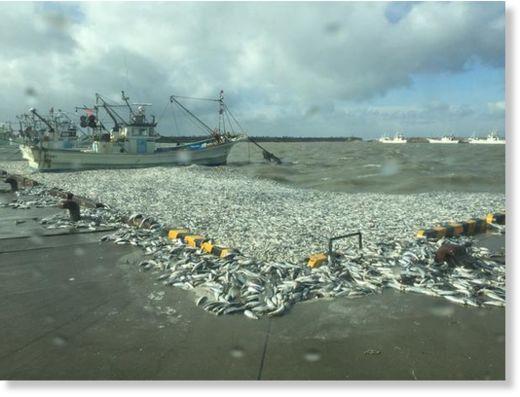 2_Numerous_sardines_washed_ash