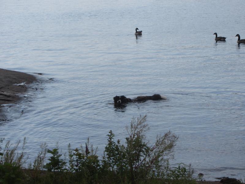 Walma uimassa Olavinlinnan edustalla.