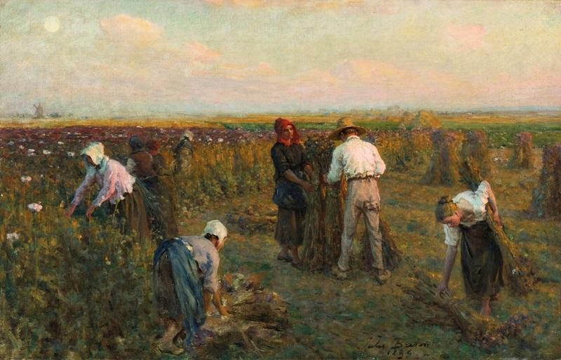 Сбор масличных маков.