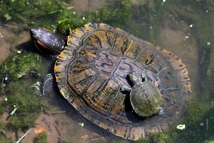 С Домодедовского рынка спасли 15 черепах.