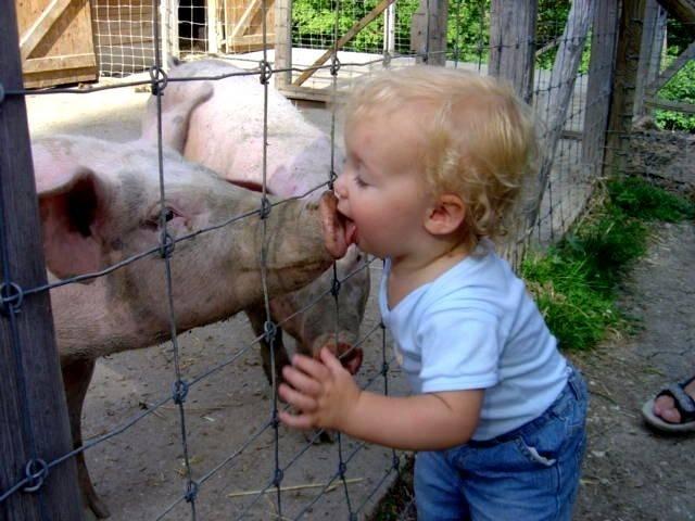 Домашние свинки