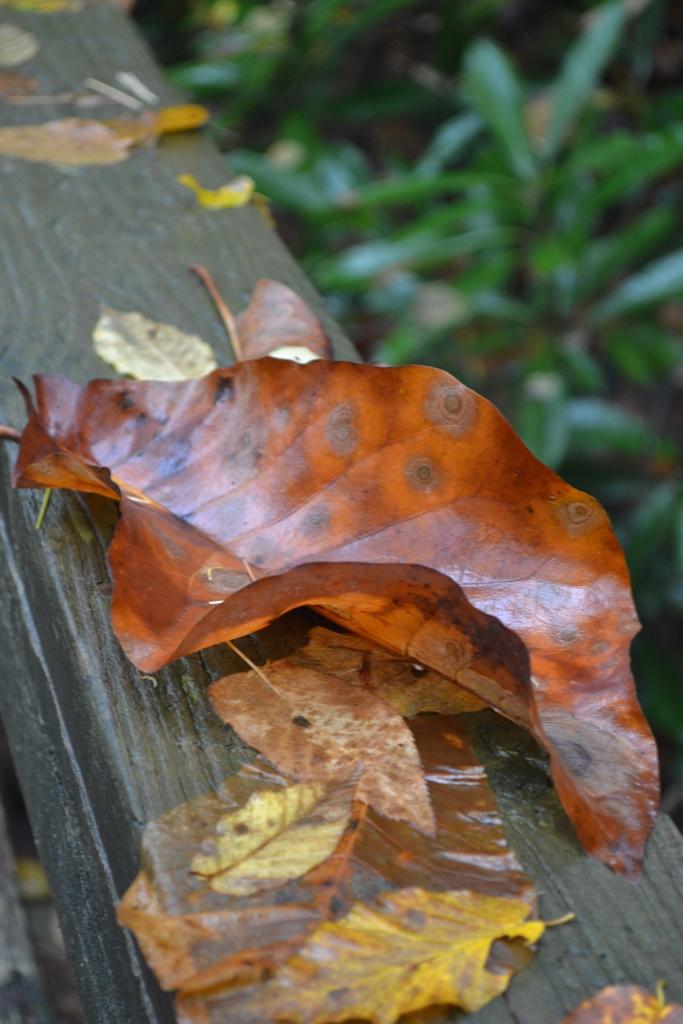 Magnola Leaf