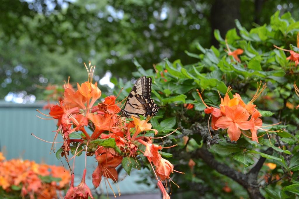 Swallowtail Azalea