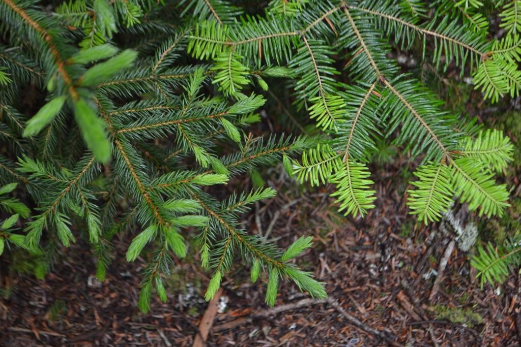 Spruce and Fir