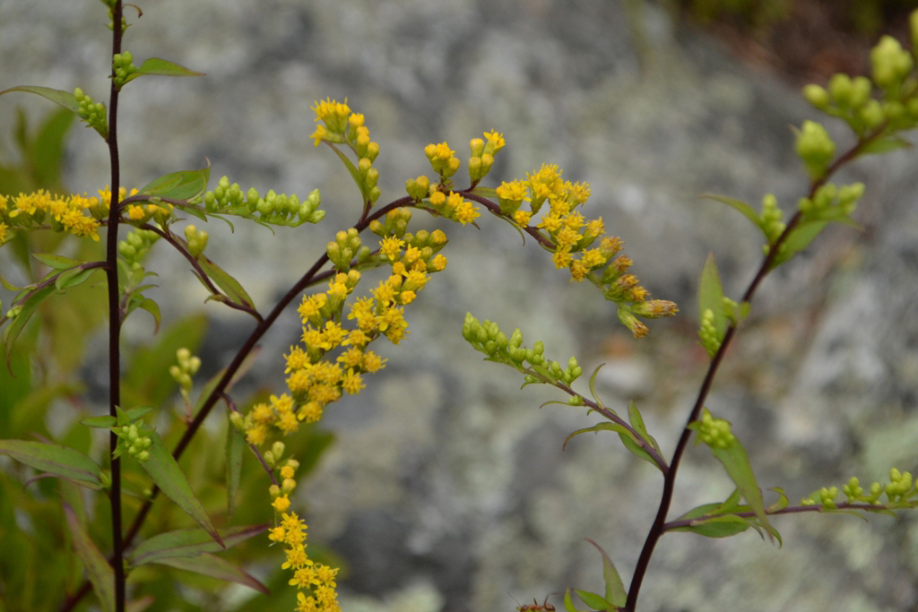 The First Goldenrod