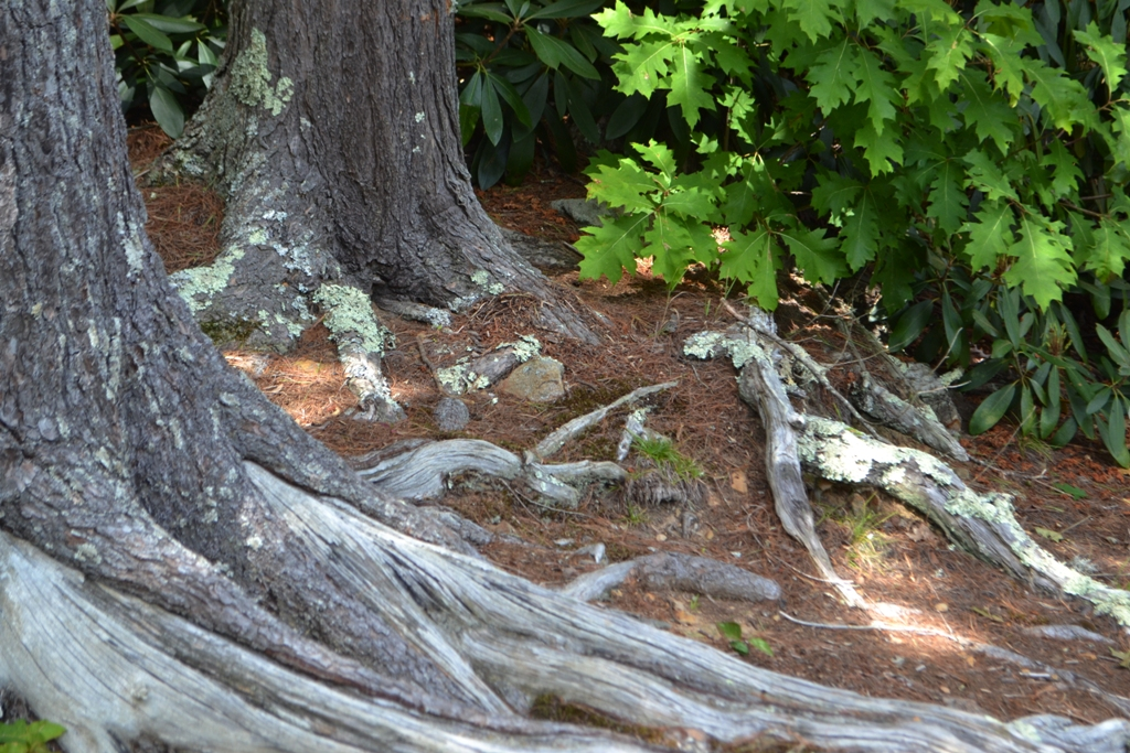 Roots by the Lake